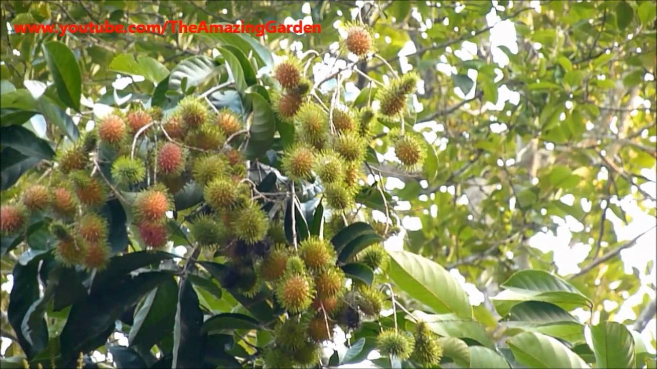 rambutan tree  tropical fruit  nephelium lappaceum, Natural flower
