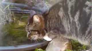 Cat Eats Peanut Butter From Birdfeeder