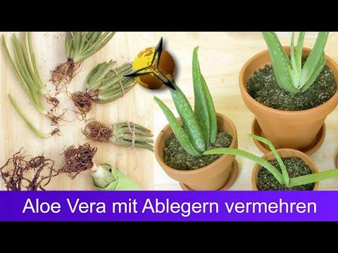Aloe Vera mit Ableger vermehren
