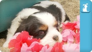 Cavalier King Charles Spaniel Puppies at the Beach