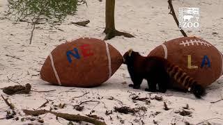 Red Panda Picks Winner of the Big Game - Cincinnati Zoo