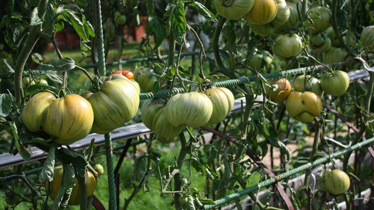 Чем опрыскивать помидоры от фитофторы