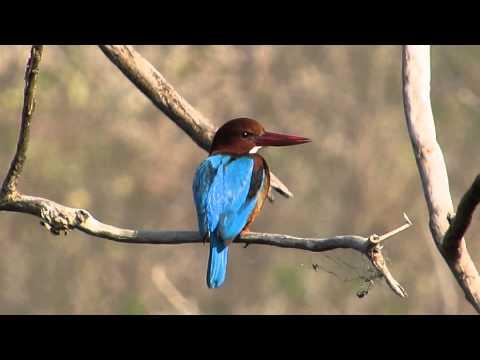 White-throated Kingfisher - Birdwatching Thailand