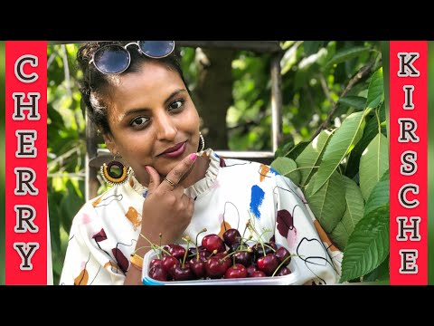 Cherry Farm Tour with Tripura | Pirna| Dresden Germany | Life in Germany | Eat unlimited Cherry FREE