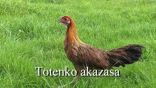 Totenko akazasa (złocistoszyje)
