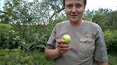 Яблоня сорт Белорусское сладкое - YouTube