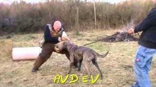Calandor de la guardia dogo canario perro de presa autentico schutzhund