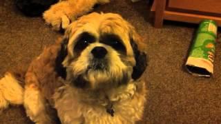 Harlem Shake (shih Tzu Dog Style)