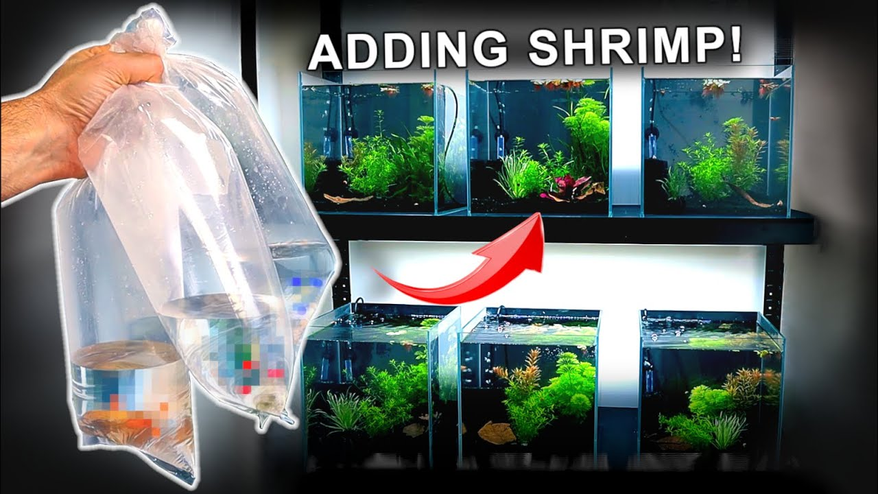 BUYING & ADDING SHRIMP to my *NEW* AQUARIUM RACKING SYSTEM | MD Fish Tanks