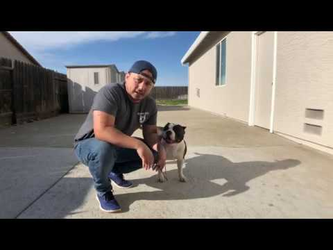 American Bully: learning how to Stack and Handle
