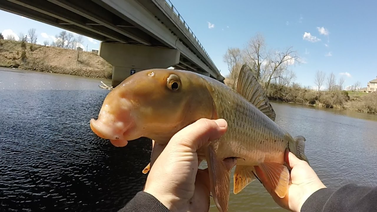 White Sucker Identification   Colorado Bowfishing ...   Sucker Fish