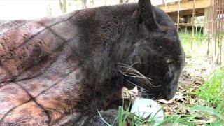 Sabre Leopard Gets a Treat at Big Cat Rescue