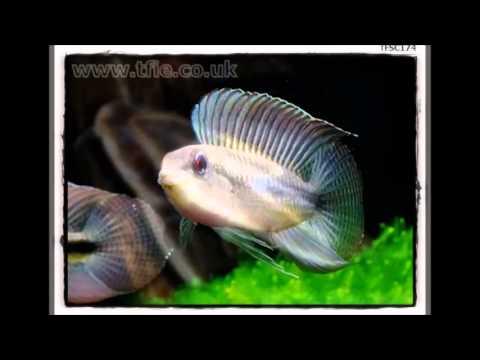 "TROPICAL FISH ""TFIE"""