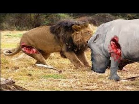 Download Live: The Best Attacks Of Wild Animals 2017 - Anaconda, Lion, Tiger, Bear, Fights Caught On Camera