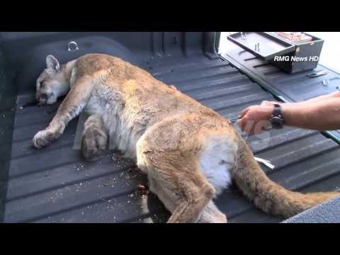A large mountain lion is captured after wandering around Glendale, California.