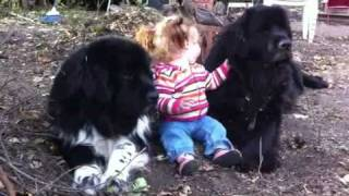 Toddler & 270 lbs. of Newfoundlands