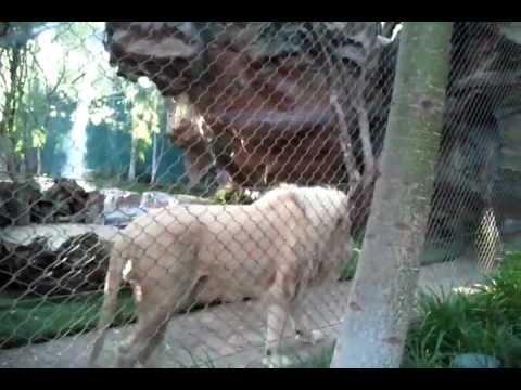 White Lion Of Siegfried Roy 39 S Secret Garden At The Mirage Las Vegas Youtube