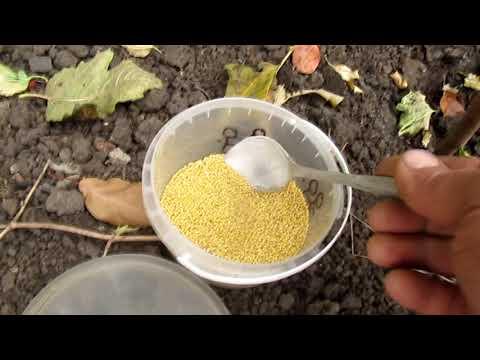 Вопрос: Как правильно поступить, если нашла в земле личинку майского жука?