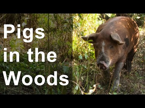 How To Raise Pigs In The Woods