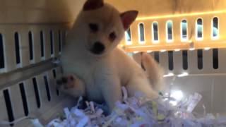 かわいさランキング最強か!白柴犬の赤ちゃんのすべてが可愛い