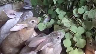 Кролики в яме часть 7 Иркутск 3 июля 2016(В данном видео я показываю и рассказываю как живут кролики в яме. Меняем подстилку маленьким крольчатам...., 2016-07-03T15:10:22.000Z)