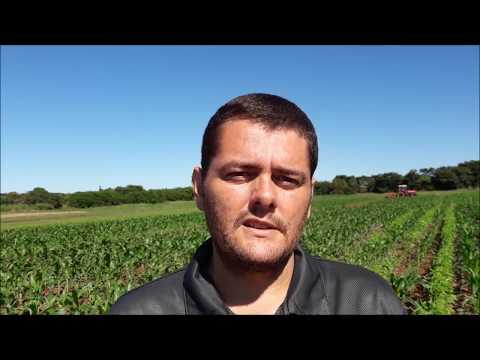 Consórcio Milho com Plantas de Cobertura (Rodrigo Garcia – Embrapa Agropecuária Oeste)