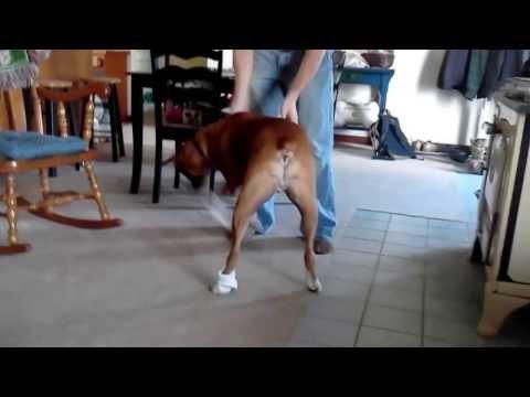 Boxer Dog Wearing Socks