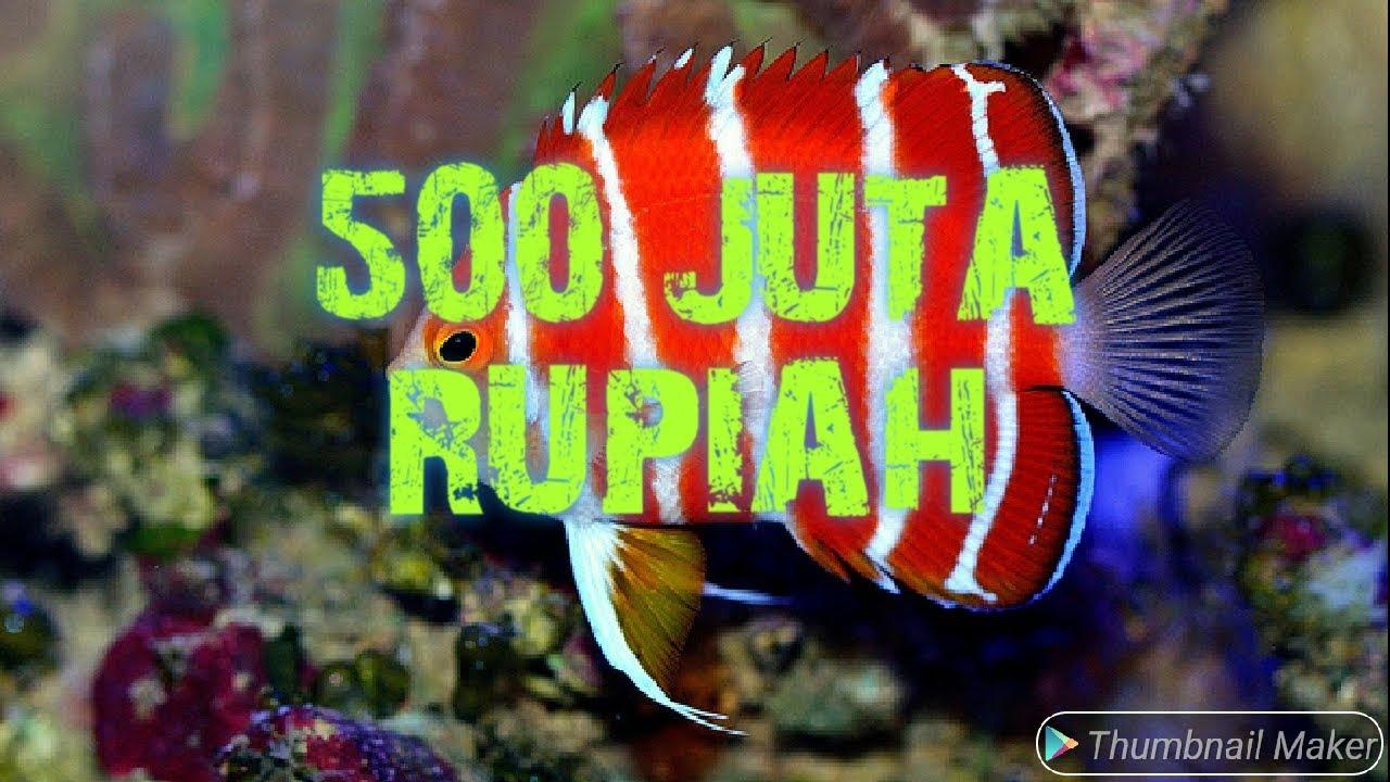 Jenis Ikan Hias Air Laut Gambar Ikan Laut 10 Jenis Ikan Hias Laut Paling Mahal Di Dunia Youtube