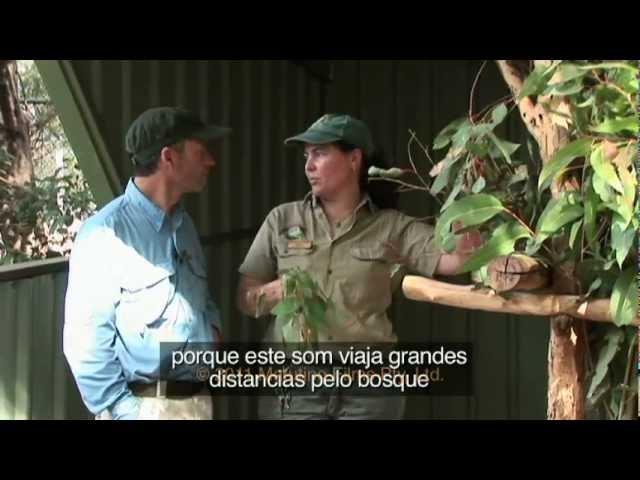 Koalas do Lone Pine l Versão Portugues