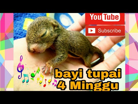 Tupai Kelapa - Baby squirrel