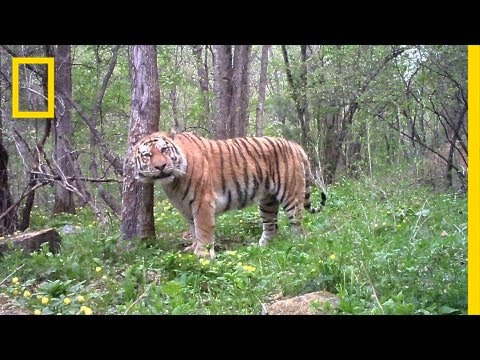 Meet Russia's Tiger Guardians | National Geographic