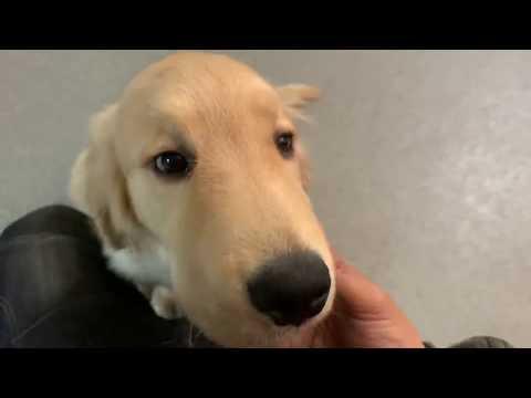 ゴールデン6カ月の子犬のお散歩トレーニング!