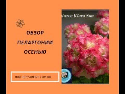 Купить пеларгонию по Украине. Обзор моих цветов.
