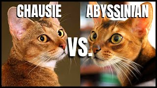 Chausie Cat VS. Abyssinian Cat