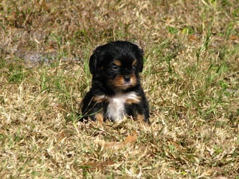 Cavalier King Charles Spaniel, Puppies, Dogs, For Sale, In Charlotte, North  Carolina, NC, Greensboro