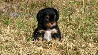 Cavalier King Charles Spaniel, Puppies, For, Sale, In, Columbia, South Carolina, Sc, Newberry, Fores