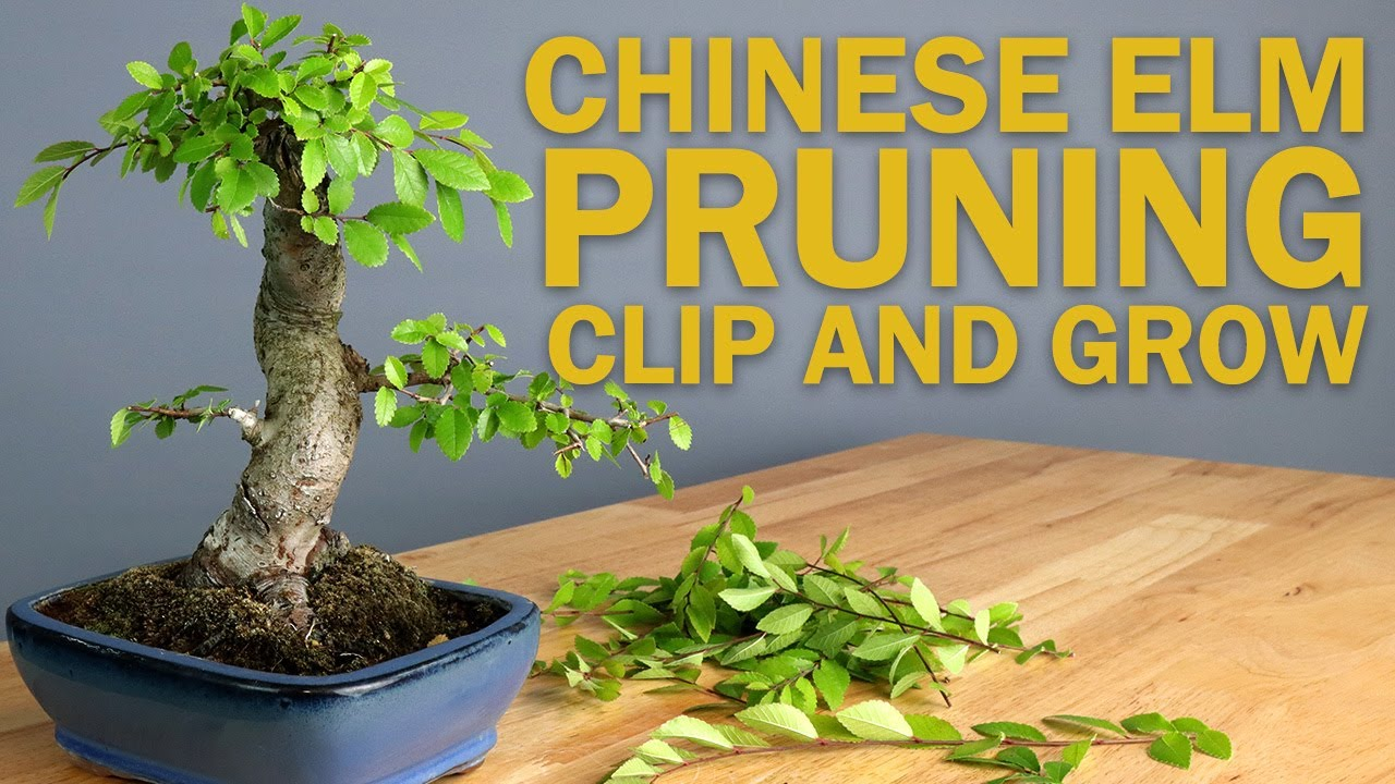 Chinese Elm Bonsai Tree Pruning Basic Clip And Grow Youtube