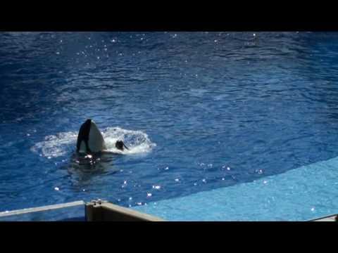 Trainer Dawn Brancheau with Tilikum at Sea World/Orlando