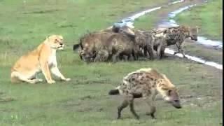 Гиены нападают на львицу  Бои животных  Hyena vs Lion