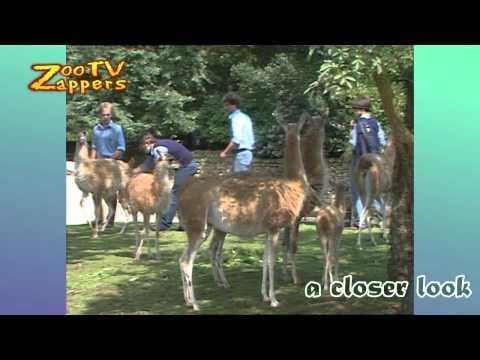Zoo Safari - birth of a guanaco - lama guanicoe