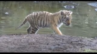 Tiger cub fights for survival