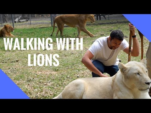 Walking with Lions in  Mauritius!