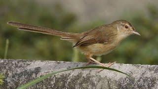 Suara Nyanyian Ocehan Kicauan Burung CIBLEK SAWAH