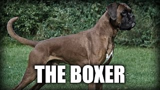 THE BOXER DOG  A QUICK LOOK AT THE HISTORY AND BREED STANDARD