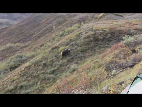Grizzly Bear ALARM Backcountry Denali National Park