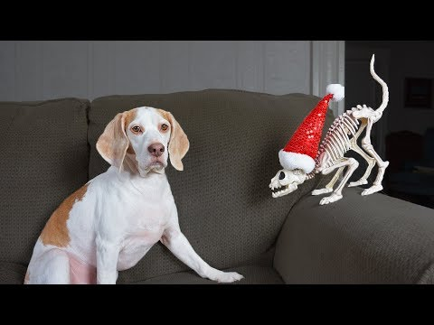 Dog vs Meowing Cat Skeleton Prank: Funny Dog Maymo