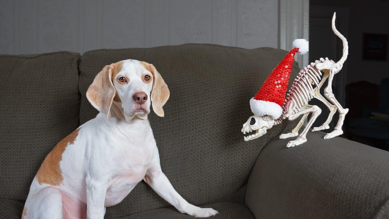 Dog vs Meowing Cat Skeleton Prank: Funny Dog Maymo