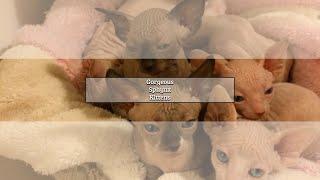 Gorgeous Sphynx Kittens is a Sphynx Breeder in Staten Island, NY