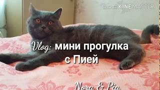 🌻Небольшая прогулка с Пией🌻Британская кошка гуляет🌻Кошка гуляет на поводке🌻