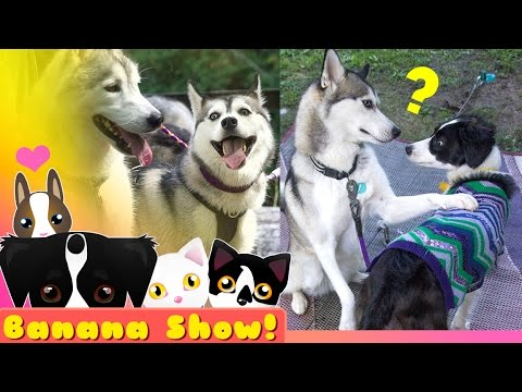 NORA the FUNNY #TalkingHusky | Banana the Talking Dog Show Ep: 15